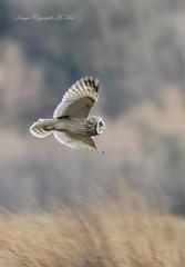 Short-eared. ( Explored.) (nondesigner59) Tags: shortearedowl asioflammeus flight predator owl nature wildlife hunting copyrightmmee eos7dmkii nondesigner nd59