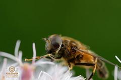DSC_2690 (kapper22) Tags: close up bee outdoors summer flower