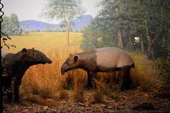 Chicago, IL - Grant Park - Field Museum - Malayan Tapir (jrozwado) Tags: northamerica usa illinois chicago museum fieldmuseum naturalhistory grantpark tapir taxidermy diorama