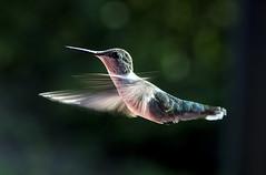 Hummingbird (Klaus Ficker thanks for + 3M views, slowing down) Tags: hummingbird bird closeup kentuckyphotography klausficker nature canon eos5dmarkii eos5dmarkiv