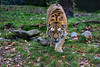 Beute in Sicht 1 (Mel.Rick) Tags: zooduisburg zoo tiere natur animals mammals raubtiere säugetiere raubkatzen groskatzen siberiantiger tiger amurtiger sibirischertiger pantheratigrisaltaica