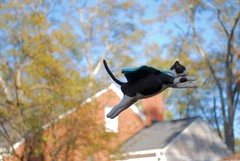 Needle felted cat (rootcrop54) Tags: needle felted needlefelting wool cat sculpture miniature superhero flying cape ooak neko macska kedi 猫 kočka kissa γάτα köttur kucing gatto 고양이 kaķis katė katt katze katzen kot кошка mačka gatos maček kitteh chat ネコ 9incheslong art