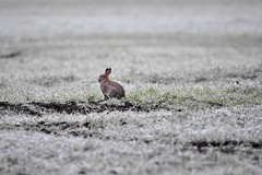 Out in the cold. (pstone646) Tags: rabbit field nature wildlife frost grass weather cold mammal ice fauna animal kent