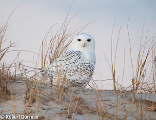 Snowy Owl (Bubo Scandiacus) Sitting on his Dune