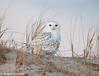 Snowy Owl (Bubo Scandiacus) Sitting on his Dune (tavarez.niurka) Tags: snowy owl bubo scandiacus lechuza buho gufo fukaro chouette coruja eule buma predator hedwig harry potter new jersey dune shorebirds bird raptor eyes hooter white ibsp island beach state park