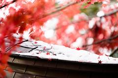 Autumn leaves on snow (kat-taka) Tags: ã¬ãã autumn red nature wonderful snow winter white japan japanese d750 a025 tamron nikon nikkor temple shrine cute maple leaf bokeh tree