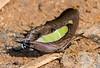 Common nawab (asheshr) Tags: 18140mm charaxinae polyuraathamas beautifulbutterfly brushfootedbutterfly butterfliesofindia butterfliesofodisha butterfliesoforissa butterfly butterflycloseup butterflymacro commonnawab d7200 fastflyingcanopybutterfly macro macrophotography nikkor nikkor18140mm nikon nikond7200 mudpudding butterflyfeeding