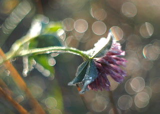 Defrosting clover