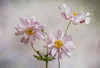 Anemones (Mandy Disher) Tags: anemone summer flower