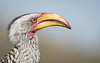 Yellow Billed Hornbill (dunderdan77) Tags: beak horn bill nature wildlife safari outdoor outdoors south africa kruger national park nikon tamron d500 150600 feather mpumalanga southafrica krugernationalpark cool animal flying coth coth5 sunrays5