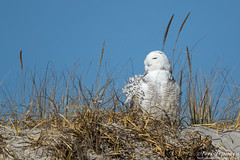 Beach Snowy (tkfranzen) Tags: snowyowl buboscandiacus newjersey owl irruption tnclivenature animalplanet