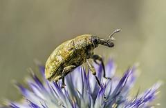 lixus pulverulentus (Josep M.Toset) Tags: animalia arthropoda baixcamp bosc camí coleoptera catalunya hexapoda curculiònids josepmtoset nikon flors macro insectes polyphaga d7100 nikon105