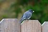 Dark-eyed Junco (deanrr) Tags: darkeyedjunco junco bird nature outdoor alabamanature morgancountyalabama alabama fence bokeh backyardbird birdstudio feathers wood