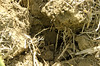 Crops_NR_37 (NRCS Montana) Tags: soil soils soilhealth farm farming farmland alternativecrops notill drylandfarming baker mt oconnor corn soybean volunteer root conservationtillage