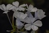 White  beauty (Rajavelu1) Tags: flowers macrophotography colours plant green canon60d canonef100mmf28lisusmmacro art creative