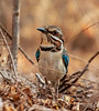 Long-tailed ground roller (Uratelornis chimaera) (Peter du Preez) Tags: longtailed ground roller uratelornis chimaera bird