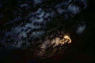 Momiji de nuit