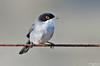 Toutinegra de cabeça preta - Sardinian warbler - Sylvia melanocephala (Yako36) Tags: portugal peniche ave bird birdwatching nature natureza nikon200500 nikond7000
