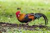 20171107-EM125758 (shutterblades) Tags: birds cock cockerel olympusem1mkii olympusmzuiko300mmf4pro14tc pasirrispark