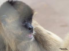 P1520103 (Christen Ann Photography) Tags: 2017 animals gibbon hawaii hawaii2017 honolulu honoluluzoo november2017 ohau usa zoo 840