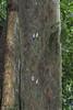 Pyrops pyrorhynchus (Green Baron Pro) Tags: merapoh 201709 malaysia lanternbug