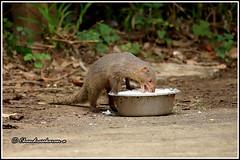 7385 - grey mongoose (chandrasekaran a 44 lakhs views Thanks to all) Tags: greymongoose mongoose mammals nature india chennai curd rice canoneos6dmarkii tamronsp150600mmg2