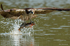It's prey day.. (Earl Reinink) Tags: bird prey birdphotography raptor earl reinink earlreinink fish fishing catfish splash water birdsinontario animal arudhazdia