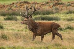 On a march 500_2899.jpg (Mobile Lynn) Tags: reddeer wild landmammals deer nature cervuselaphus fauna mammal mammals wildlife richmond england unitedkingdom gb coth specanimal coth5 ngc sunrays5 npc