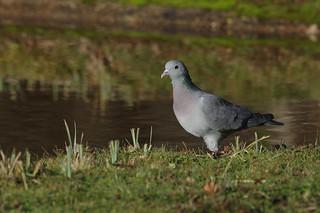IMGP1346c Stock Dove, RSPB Sandy, December 2017