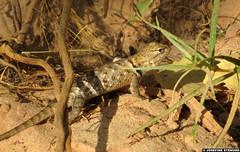 20160820_6 Krappy paparazzi shot of beautiful little desert spiny lizard (Sceloporus magister)   Zion National Park, Utah (ratexla) Tags: ratexlasgreentortoisetrip2016 ratexlascanyonsofthewesttrip2016 20aug2016 2016 canonpowershotsx50hs zion zionnationalpark utah usa theus unitedstates theunitedstates america northamerica nordamerika earth tellus photophotospicturepicturesimageimagesfotofotonbildbilder wanderlust travel travelling traveling journey vacation holiday semester resaresor ontheroad hiking hike sommar summer beautiful nature nonhumananimals life organism nonhumananimal animal animals djur cute cool wild wildlife vild vilda biology zoology reptile reptiles lizard lizards ödla ödlor reptil reptiler greentortoise canyonsofthewest desertspinylizard sceloporusmagister