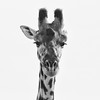 Watch Out ! (AnyMotion) Tags: mondayface giraffe giraffacamelopardalis portrait porträt 2015 anymotion serengetinationalpark tanzania africa afrika animal animals tiere nature reisen travel wildlife portraitaufnahmen square 1600x1600 bw blackandwhite sw