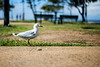 Project365-344 (michellebain1) Tags: seagull outdoors wellingtonpoint wello queensland australia summer moretonbay
