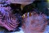 Clownfisch (HW062) Tags: clownfisch nemo