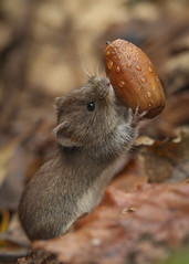 bank vole (Rob Booth Imagery) Tags: vole bank rodant mouse acorn