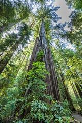 Armstrong Redwoods State Natural Reserve (skybluerenee) Tags: california sonoma redwoods park sonomacounty explore travel travelusa explorecalifornia