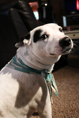 Babygirl (KaylaMariW) Tags: dog pitmix pitbullmix bandanna whiteandblackdog
