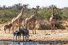 Trios (gecko47) Tags: africa animals mammals giraffes zebras waterhole etoshanationalpark giraffacamelopardis commonzebra equusburchelli burchellszebra plainszebra namibia trio