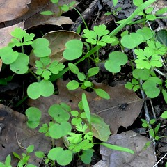 *Geranium robertianum, HERB ROBERT. Seedlings (openspacer) Tags: caryophyllaceae chickweed geraniaceae geranium jasperridgebiologicalpreserve jrbp nonnative seedling stellaria