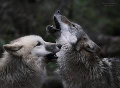 SOUL SONG (babsbaron) Tags: nature tiere animals raubtiere predators jäger hunter wolf wolves wölfe polarwolf grauwolf europäisch wildpark lüneburg lüneburgerheide specanimal specanimalphotooftheday