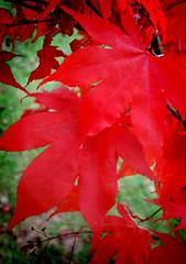 IMG_0597 (bob_rmg) Tags: perrow arboretum tree autumn colour leaves bedale thorp maple leaf red