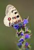 Roter Apollofalter │ Mountain Apollo │Parnassius apollo (Bluesfreak) Tags: roterapollofalterparnassiusapollo schmetterlinge tagfalter