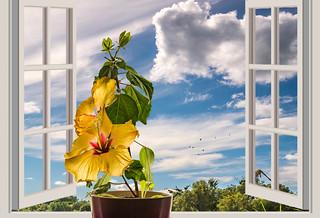 Hibiskus am Fenster