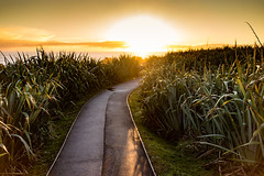 Yellow horizon (amcatena) Tags: yellow field sky sunset travel grass new zealand