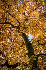 Herfst in Leuvenumsche Bosch (R.Z.fotografie) Tags: nature natuur nopeople color kleuren herfst tree boom leuvenumschebosch netherlands nederland