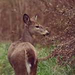 Deer at Malden Park in Windsor, Ontario thumbnail