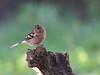 Birdwatching in un pomeriggio d'autunno (Fab.G.) Tags: parcodellapiana sestofiorentino birdwatching fringuello toscana italia it