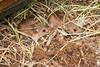 Bosmuizen (Hans Van Loy) Tags: belgië bosmuis dieren europa gewervelden knaagdieren landenenplaatsen namen viroin wallonië zoogdieren