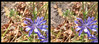 The Lavender Bed 1 - Parallel 3D (DarkOnus) Tags: pennsylvania buckscounty huawei mate8 cell phone 3d stereogram stereography stereo darkonus closeup macro insect hoverfly hoverflies insecthumpday hump day wednesday sex mating humping coitus coupling hihd ihd lavender bed flower chicory parallel