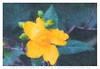 fiore1Hi_impressionist (Cristian Ferronato) Tags: doyoulikemyphoto doyoulikemyart dylk flowers yellow fiore giallo colore digitalpaint digitalart digital paint illustrazione illustration color pittura digitale dipinto