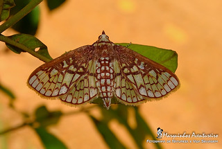Mariposa - Polygrammodes sp (Crambidae: Spilomelinae)